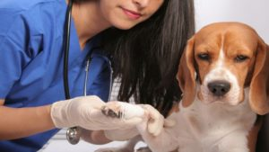 Veterinarian putting a bandage over a dog's paw.
